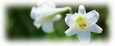 白いユリの花の画像